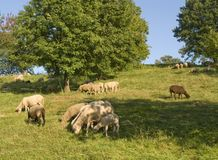 Grazing sheep in sunny ambiance Royalty Free Stock Photography