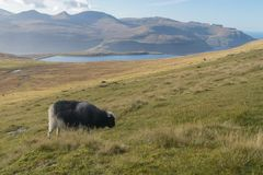 Grazing sheep and view to Lake Eiði on Eysturoy, Faroe Islands, Denmark royalty free stock photography