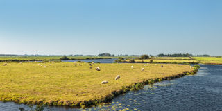 Grazing sheep between water in The Netherlands Royalty Free Stock Image