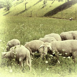 Grazing Sheeps Royalty Free Stock Photography
