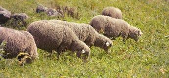 Grazing sheeps banner Stock Photo