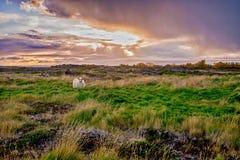 Grazing sheeps on a field. Near Myvatn at autumn Stock Photo