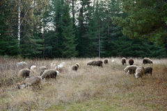 Grazing sheeps and goats Stock Image