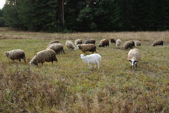 Grazing sheeps and goats Stock Photography