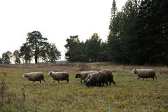 Grazing sheeps and goats Stock Photo
