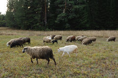 Grazing sheeps and goats Royalty Free Stock Photo