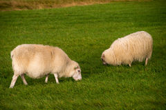 Grazing sheeps. On a green field Stock Images