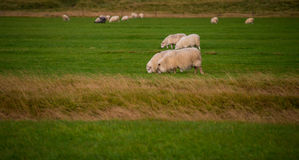 Grazing sheeps. On a green field Stock Image