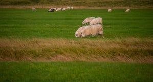 Grazing sheeps Stock Image