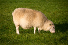 Grazing sheeps Royalty Free Stock Image