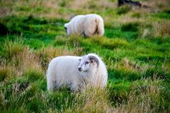 Grazing sheeps. On the green grass Royalty Free Stock Photography