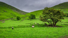 Grazing sheeps on green pasture in District Lake Royalty Free Stock Photos