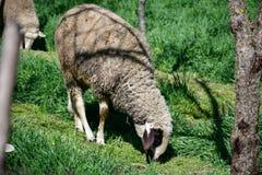Sheeps  grazing. Grazing sheeps in green spring wood Stock Photos