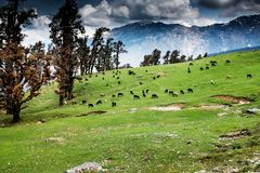 Grazing sheeps in himalayas, india Stock Image