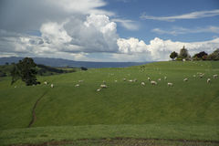 Grazing sheeps. New Zealand Stock Image