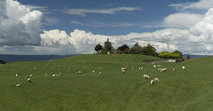 Grazing sheeps. New Zealand Stock Photos