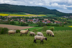 Grazing sheeps in a pasture, Germany Royalty Free Stock Photography