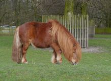 A grazing  Shetland pony in a pasture Royalty Free Stock Images