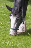 Grazing shire horse Royalty Free Stock Photography
