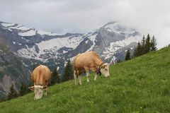 Grazing Simmental Cows Royalty Free Stock Images