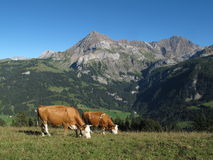 Grazing Simmental Cows and mountains Stock Images