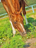 Grazing sorrel horse in paddock. Sunny day royalty free stock photography