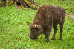 The European Bison Bison bonasus or Wisent. A grazing specimen of the European Bison also known as Wood Buffalo or Wisent Royalty Free Stock Photos
