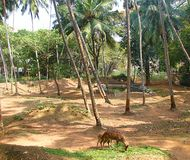 Grazing Spotted Deer among Coconut Trees Stock Photo