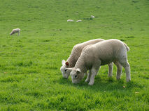 Grazing Spring Lambs Royalty Free Stock Images
