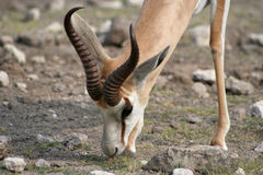 Grazing Springbok Stock Photos