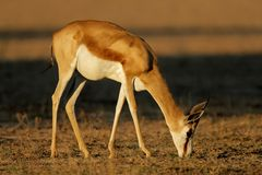 Grazing springbok antelope Royalty Free Stock Photos
