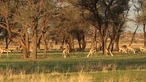 Grazing springbok stock video footage