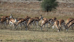 Grazing springbok Royalty Free Stock Photos