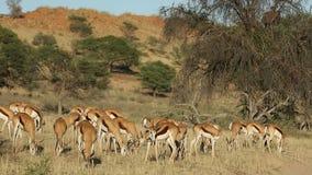 Grazing springbok antelopes stock video footage