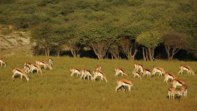 Grazing springbok antelopes Royalty Free Stock Photography