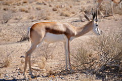 Grazing springbok Royalty Free Stock Images