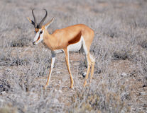 Grazing springbok. Springbok grazing on plants in Etosha national park in Namibia Africa Stock Images