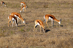 Grazing Springboks Royalty Free Stock Photos