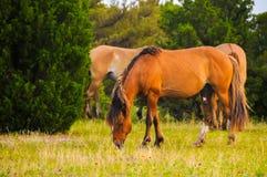 Grazing Stallion Royalty Free Stock Photo