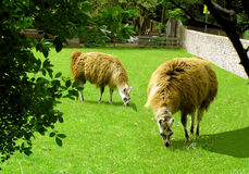 Grazing in Summer. Llamas Stock Photography
