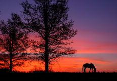 Grazing At Sunrise. A Grazing Horse At Sunrise During Springtime In Horse Country, Lexington, Kentucky, USA Royalty Free Stock Photos