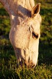Grazing at Sunset. The setting sun lends a golden glow to this grazing horse stock photography