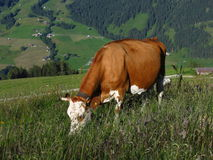 Grazing Swiss cow Stock Photos