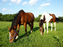 Grazing Thoroughbred Horses. Thoroughbred Horses Grazing in a Green Meadow Royalty Free Stock Photos