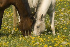 Grazing together. Peaceful image of two horses grazing in a dandelion meadow Royalty Free Stock Image