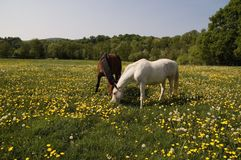 Grazing Together Stock Photos
