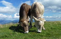Grazing on Top of the World. Two Alpine cows grazing side by side in a meadow on top of Monte Baldo at Lake Garda in northern Italy Royalty Free Stock Photography