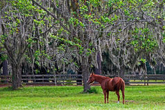 Grazing Under the Spanish Moss. A photograph of a chestnut horse grazing in a paddock under Spanish moss hanging from live oak trees Royalty Free Stock Image