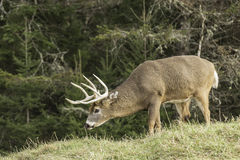 A grazing wapiti in a forest Royalty Free Stock Photo