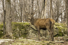A grazing wapiti in a forest. Environment Royalty Free Stock Photography